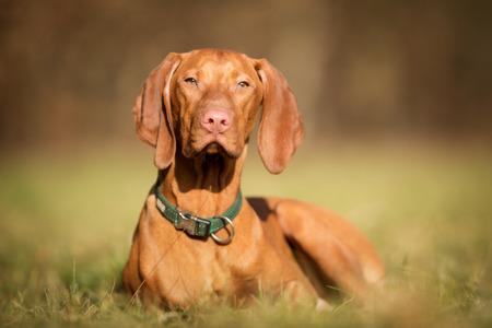 pedigree: Pedigree vizsla dog outdoors on grass field on a sunny spring day.