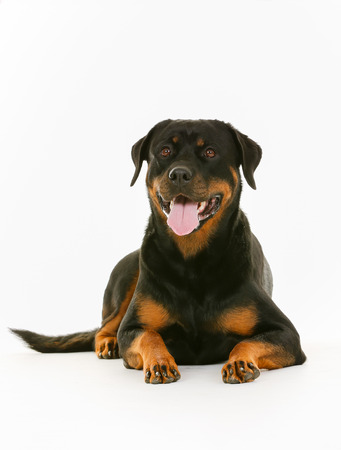 rottweiler: Purebred rottweiler dog isolated on white background in studio.