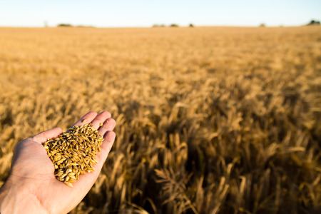 Human hand holding newly harvested grain with blurred grain field in the background. Stock Photo