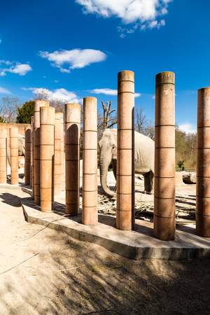 zoological: Adult elephant in captivity in zoological garden on sunny spring day.
