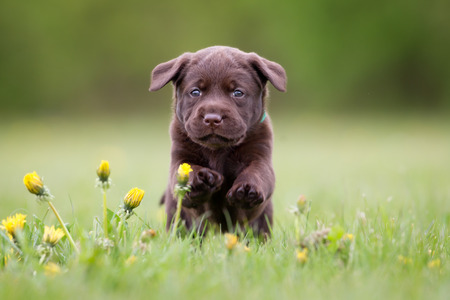 looking towards camera: Young puppy of brown labrador retriever dog photographed outdoors on grass in garden.