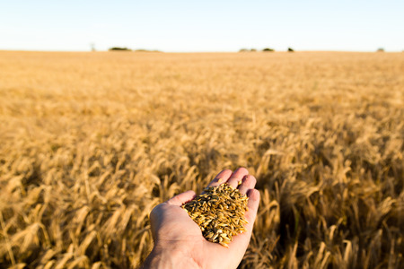 grain fields: Human hand holding newly harvested grain with blurred grain field in the background. Stock Photo