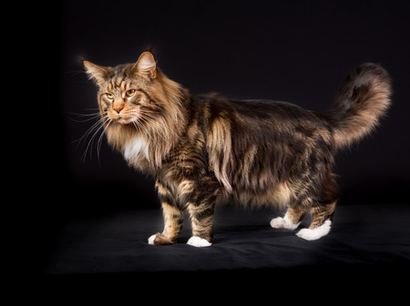 pedigree: Pedigree Maine Coon cat photographed indoors in studio on black background.