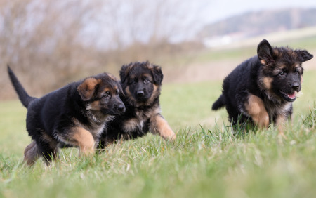 german shepherd on the grass: Three purebred young German Shepherd dog puppies having fun outdoors on a grass field on a sunny spring day.