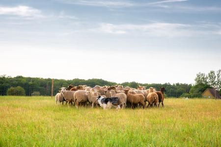ovejas: Border collie de pura raza pastoreando un rebaño de ovejas en un día de verano.