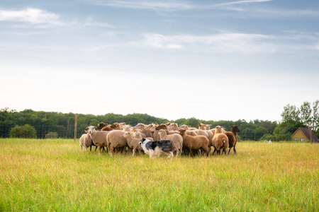 herd: Purebred border collie herding a flock of sheep on a summer day.