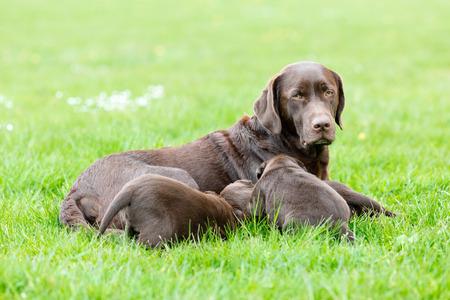 puta: Mujer perro labrador retriever alimentando a su camada de cachorros adorables marrones j�venes.