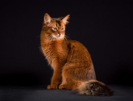 somali: Pedigree orange Somali cat photographed indoors in studio on black background.