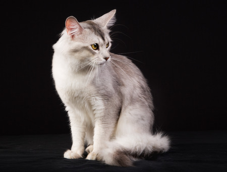 pedigree: Pedigree white and grey Somali cat photographed indoors in studio on black background.