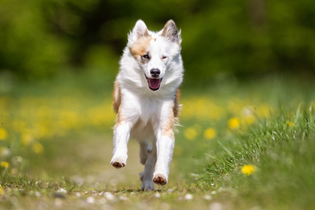 sheepdog: Purebred Icelandic Sheepdog outdoors in the nature on grass meadow on a summer day.