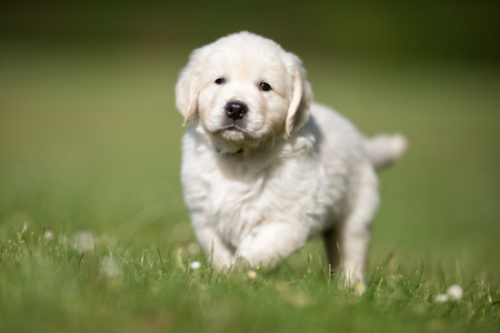 whelp: Young purebred golden retriever puppy outdoors in the nature on grass meadow on a sunny summer day.