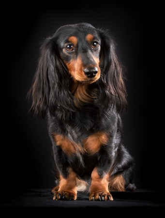 longhaired: Longhaired dachshund