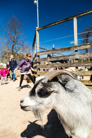 zoological: Close-up of goat in children zoological garden on a sunny spring day.