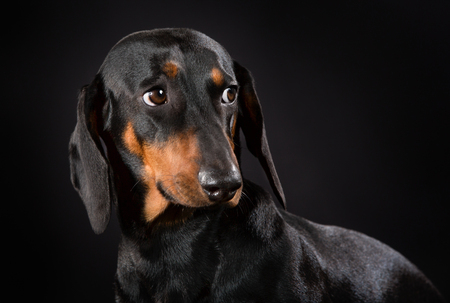 Purebred shorthaired dachshund indoors in studio and isolated on black . Stock Photo