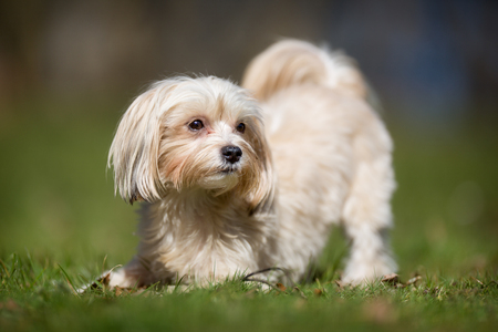 havanais: A purebred bichon havanais dog without leash outdoors in the nature on a sunny day. Stock Photo