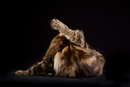 maine cat: Purebred Maine Coon cat isolated on black in studio.