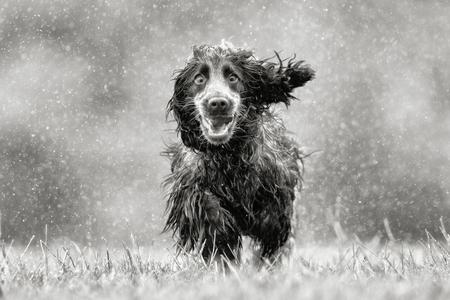 雨の夏の日に草の牧草地で自然で屋外純血コッカースパニエル犬の黒と白のレンダリング。