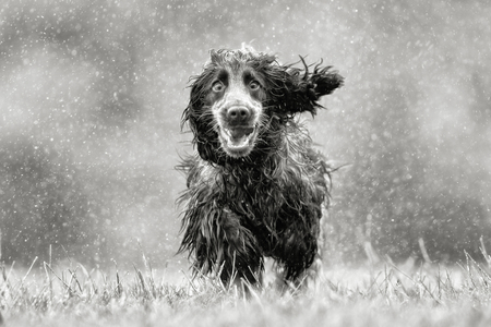 rain wet: Black and white rendering of purebred cocker spaniel dog outdoors in the nature on grass meadow on a rainy summer day.