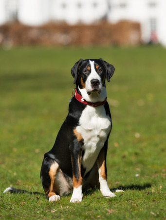 sennenhund: A purebred Grosser Schweizer Sennenhund dog without leash outdoors in the nature on a sunny day. Stock Photo
