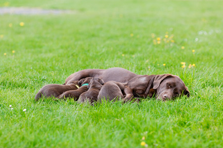pups: Female labrador retriever dog with her litter of adorable young brown pups. Stock Photo