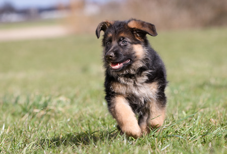 german shepherd on the grass: Purebred young German Shepherd dog puppy running around outdoors on a grass field on a sunny spring day.