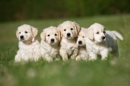 Litter of five cute purebred golden retriever puppies outdoors in the nature on grass meadow on a sunny summer day.