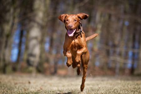 dog running: Un perro de raza pura Kooikerhondje sin correa al aire libre en la naturaleza en un día soleado.