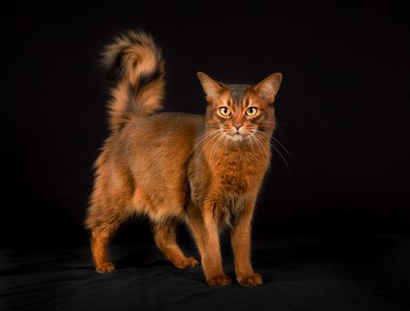 somali: orange Somali cat photographed indoors in studio on black . Stock Photo