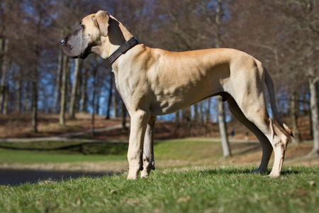 A purebred Great Dane dog without leash outdoors in the nature on a sunny day.
