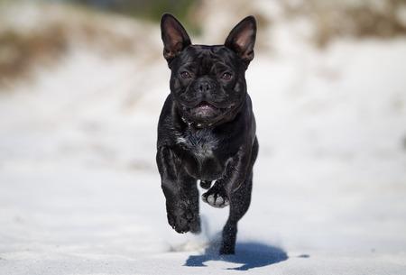 bulldog: Un bulldog francés de pura raza correr sin correa al aire libre en la naturaleza en un día soleado.