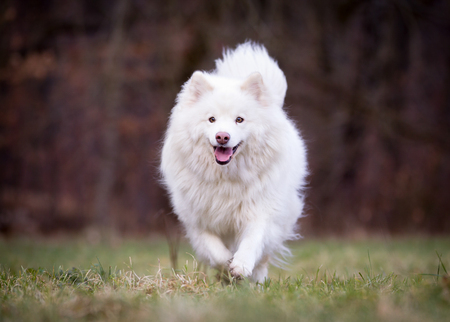 pedigree: Pedigree white adult Finnish Lapphund dog outdoors on grass field on a sunny spring day. Stock Photo
