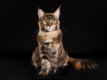 maine cat: Purebred Maine Coon cat isolated on black background in studio.