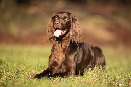 Pedigree brown german longhaired pointer dog outdoors on grass field on a sunny spring day. Stock Photo