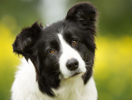 chien: Chien de race border collie à l'extérieur dans la nature sur l'herbe prairie sur une journée d'été. Banque d'images