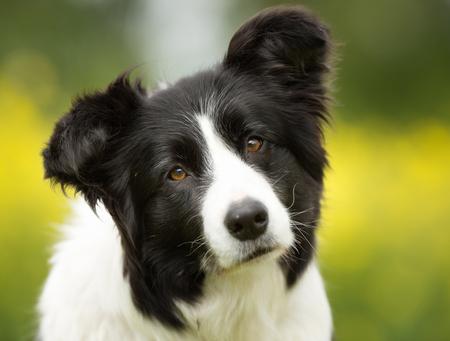 Fajtiszta border collie kutyát a szabadban, a természetben a fű rét egy nyári napon. Stock fotó