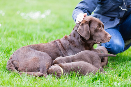 zorra: Female labrador retriever dog feeding her litter of adorable young brown pups. Foto de archivo