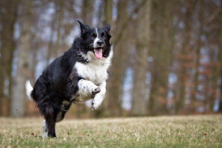 collie: A purebred Border Collie dog without leash outdoors in the nature on a sunny day. Stock Photo