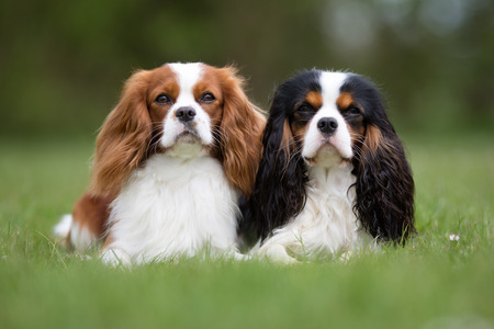 Two purebred Cavalier King Charles Spaniel dogs without leash outdoors in the nature on a sunny day.