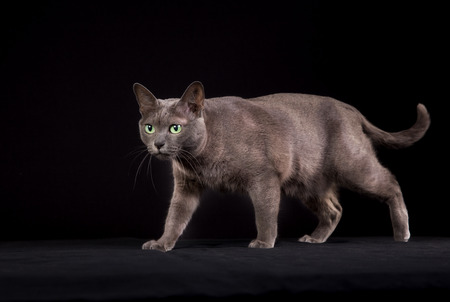 Pedigree Korat cat photographed indoors in studio on black background.