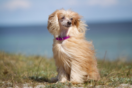 A purebred Chinese Crested dog without leash outdoors in the nature on a sunny day.