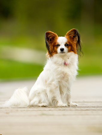 pedigree: Pedigree continental toy spaniel on a sunny summer day.