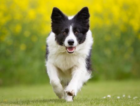 Boldog és mosolygós Border Collie kutya fut a szabadban, a természetben, egy napsütéses nyári napon a kutya nyelvét kilóg.