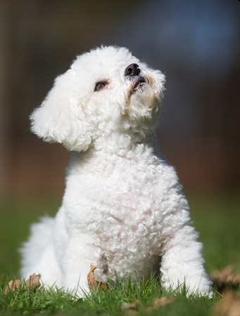 bichon: A purebred bichon frise dog without leash outdoors in the nature on a sunny day. Stock Photo