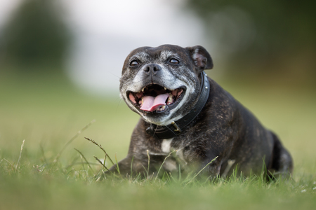 Old adult staffordshire bull terrier outdoors in the garden on a sunny summer day.