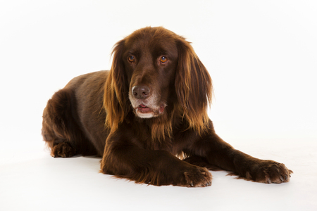 Purebred brown longhaired pointer dog isolated on white background in studio.