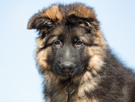 german shepherd puppy: A purebred german shepherd puppy without leash outdoors in the nature on a sunny day.