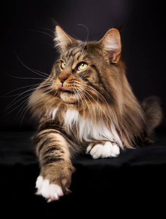 maine:  Maine Coon cat photographed indoors in studio on black background.