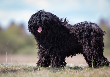A purebred Puli dog without leash outdoors in the nature on a sunny day.