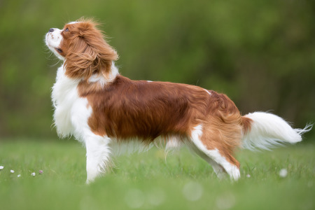 cavalier king charles spaniel: A purebred Cavalier King Charles Spaniel dog without leash outdoors in the nature on a sunny day. Stock Photo