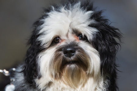 havanese: A purebred Havanese dog without leash outdoors in the nature on a sunny day.